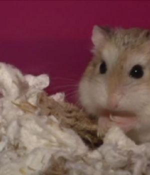 cute-show-hamsters
