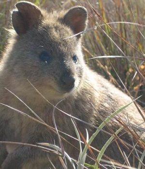 quokka-animaux-australiens