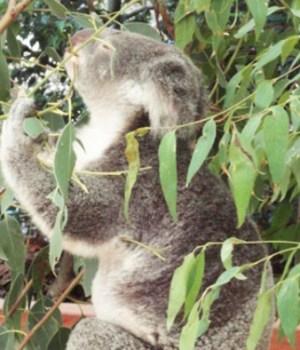 brisbane-koalas-australie