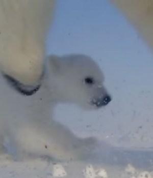 ours-polaire-premier-pas
