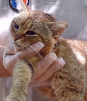 chat-renard-nouvelle-espece-corse