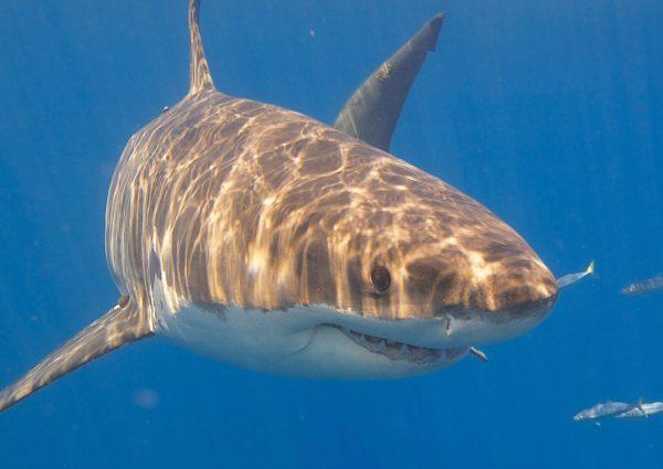 grand requin blanc Elias Levy